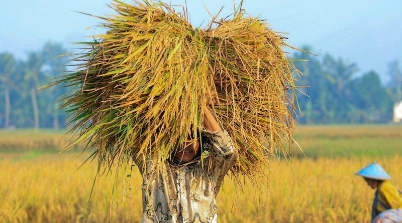 Ride Paddy Harvesting in Yogyakarta Indonesia